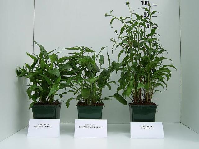 Echinacea groep in C5