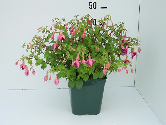 Fuchsia Constance in C5