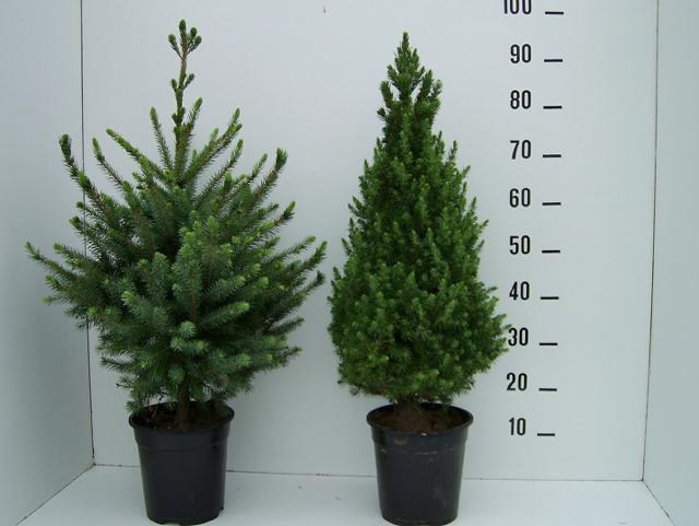 Kleine maat Picea omorika en Picea Conica op pot