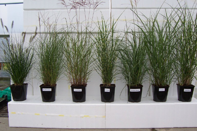 Miscanthus groep in C5